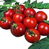 Tomate -Alicante- 10 Samen