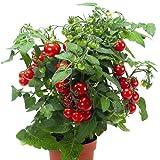Topftomate - Balkontomate 'Strongboy', Solanum lycopersicum - Pflanze im Topf 11 cm in Gärtnerqualität von Blumen Eber - 11 cm