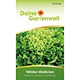 Winterendivien Gialla a cuore Samen - Cichorium endivia - Winterendiviensamen - Gemüsesamen - Saatgut für 200 Pflanzen
