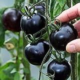 Singeru 30 Stk Schwarz Tomatensamen Mini Aromatisch Tomate Samen Klein Cherrytomaten Balkon Pflanze
