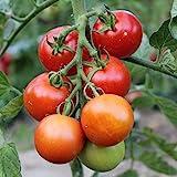 Moneymaker Tomatensamen für ca. 40 Pflanzen - Massenertrag, kältetollerant
