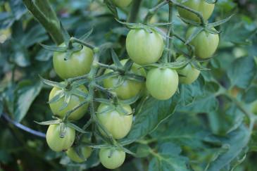 Grüne Tomaten nachreifen - Wie reifen Tomaten nach