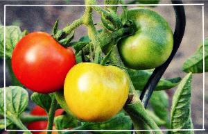 Tomaten Erntezeit - Wann sind Tomaten erntereif
