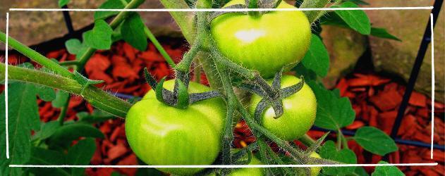 Tomaten anbauen - Buschige Sorten