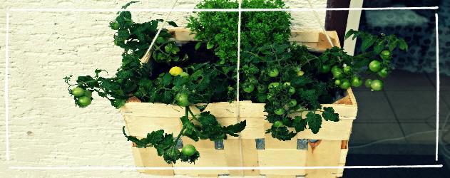 Tomaten anbauen - Hängende Tomaten