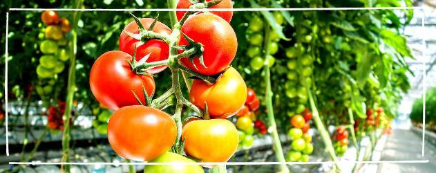 Tomaten anbauen - Landwirtschaft