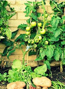 Tomaten anbauen - Tomaten an Hauswand