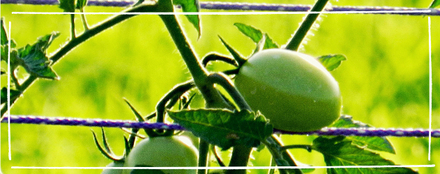 Tomaten anbauen - Tomaten nach oben wachsend