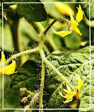 Tomaten Herbst - Blüten entfernen