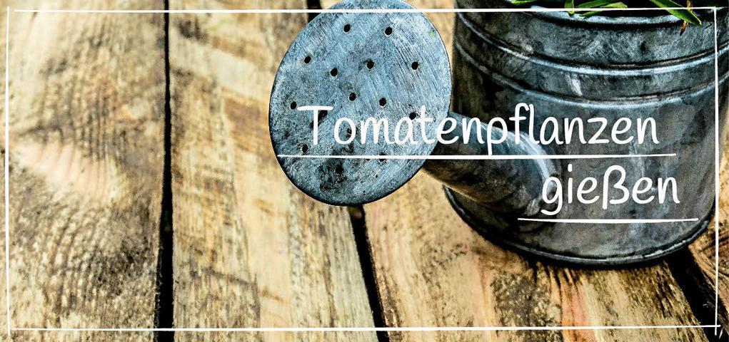 Tomatenpflanzen gießen - Tomaten gießen